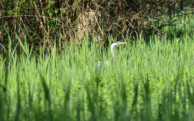 Airone cenerino nascosto tra l'erba