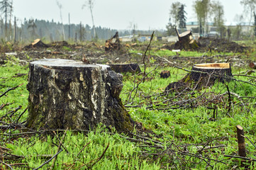 Close-up of big birch stump on the field after forest cutting