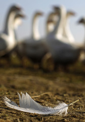 A goose feather is seen on the ground in front of geese in Eisenberg an der Pinka in the province of Burgenland