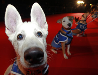 Nila, a german shepherd cross, poses on the red carpet with other dogs attending the Battersea Dogs and Cats Home's 150th year 'Collars and Coats Gala Ball' in London