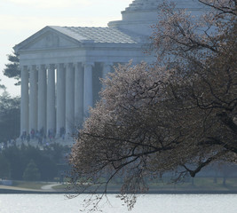 Cherry blossom buds begin to bloom around the Tidal Basin near the Jefferson Memorial in Washington