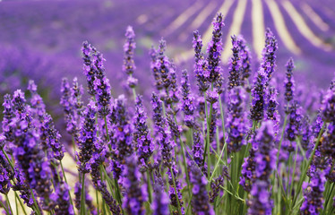 Very nice view of the lavender fields.Provence, Lavender field.Lavender flower field, image for...