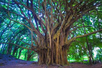 Beautiful banyan tree