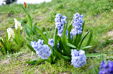 Hyacinth Delft Blue bloomed on a flowerbed