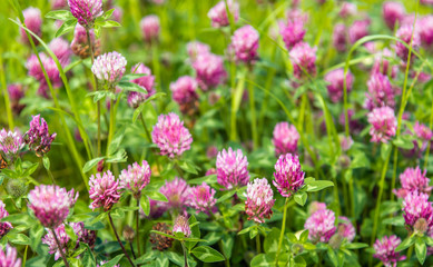 Purple flowering clover plants from close