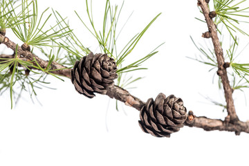 Pine cones on branch of conifer tree. Closeup of a larch tree branch with larch cones, isolated on white background.