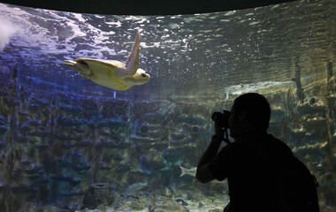 A man takes a picture of an Olive ridley sea turtle at the Marine Park in Puntarenas
