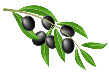 Black olive branch with green leaves, isolated on white. For food and nature design, realistic vector illustration