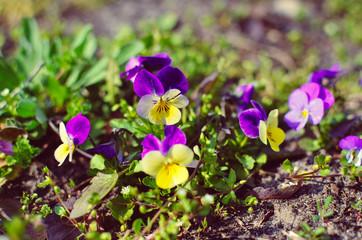 Papiers peints Pansies Violas or Pansies Closeup in a Garden