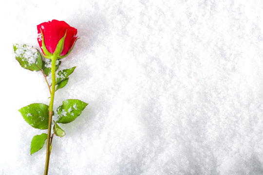 Love and romance concept - frozen winter red rose covered in snow and frost laying on the ground surrounded by ice crystals and water drops, a sign of unflattering lasting passion with copy space