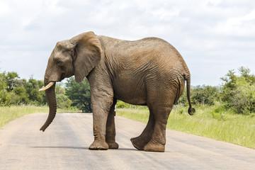 Elephant crossing street in Kruger Park
