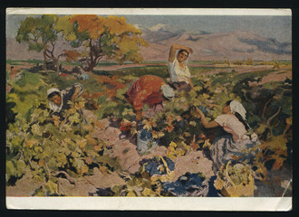 Grape harvesting by Kotanjyan