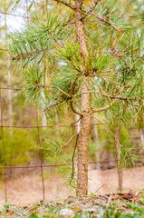 Small pine tree closeup in autumn with wire mesh fence