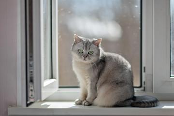 Gray British Shorthair cat is sitting on the window.