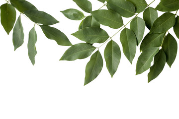 Green leaves isolated on white background with clipping path