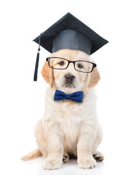 Golden retriever puppy with black graduation hat and eyeglasses. isolated on white background