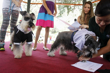 Dogs wearing a bridal veil and a groom costume make a paw print on a symbolic pets wedding certificate during Valentine's Day celebrations organized by a local municipality in Lima