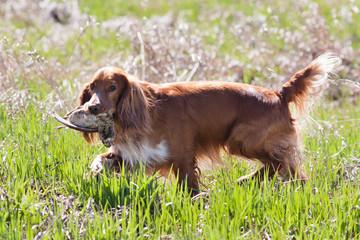 hunting dog spaniel holding a woodcock