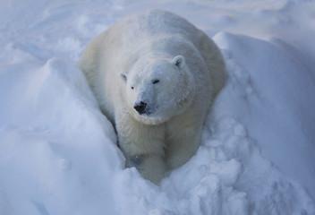 Taiga the polar bear looks on at the Quebec Aquarium in Quebec City