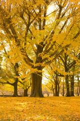 秋の公園 銀杏