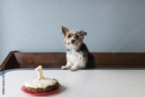 Portrait Of Yorkshire Terrier With Birthday Cake On Table At Home