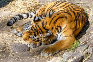 wild animal striped predator amur tiger asleep