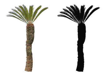 Cycad Palm Tree with alpha mask isolated on white background
