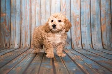 Goldendoodle on blue wooden background