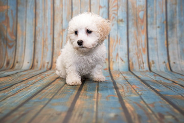 Malti-Poo on blue wooden background
