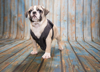 Miniature English Bulldog on blue wooden background