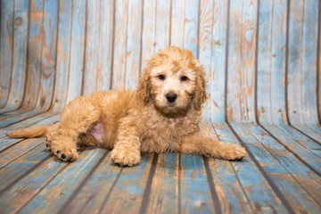 Labradoodle on blue wooden background