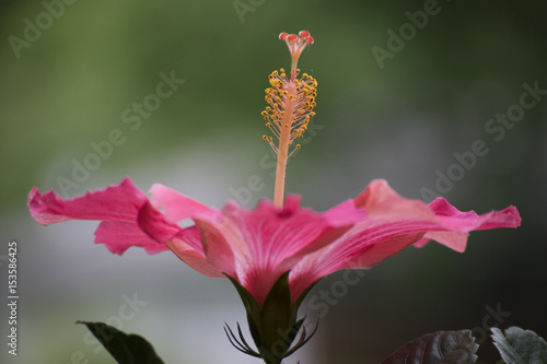 Hibiscus Anatomy Stock Photo And Royalty Free Images On Fotoliacom