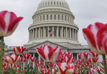 A U.S. flag, framed by spring tulips, is flown at half-staff at the nation's Capitol dome in Washington