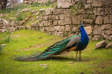 Peacocks walking in the garden at Mount Filerimos, Rhodes, Greece