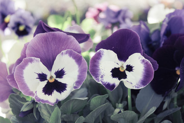 Beautiful, colorful, flowers, pansies. Pansies for the background..
