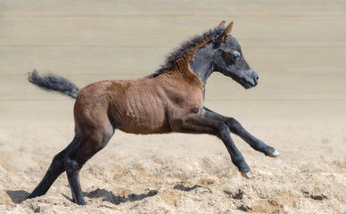Wall Mural - American miniature horse. Graceful and elegant bay foal is one month of birth.