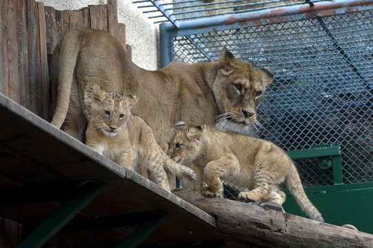Two fourteen-week old Barbary lions (Panthera leo leo), a male named Ramzes and a female named Zara with mother named Gina, are seen after a naming ceremony at the Bojnice Zoo