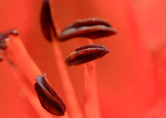 Extreme close up shot of pollen and stamen of Lily flower
