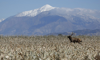 A bull elk makes its way through the field as corn is harvested at the Kenison Farms in Levan