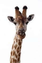 Giraffe at Okavango Delta - Moremi N.P.