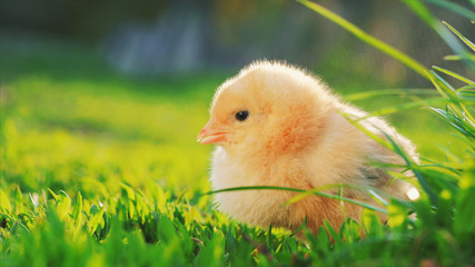 little yellow chicken sitting in green grass, moving heads and pecking grass. Close up