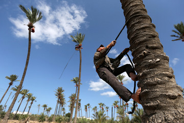 Palestinian farmer harvests dates from a palm tree in southern Gaza