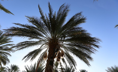 Youths collect dates from a palm tree at a farm in Jemna, southern Tunisia