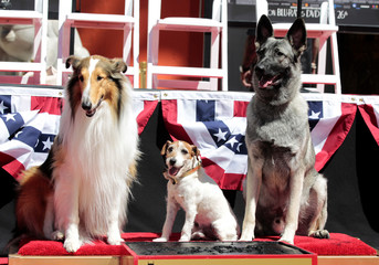 "The dog Uggie, featured in the film ""The Artist"", poses after leaving his paw prints in cement, with Lassie and Rin Tin Tin, in the forecourt of the Grauman's Chinese theatre in Hollywood"