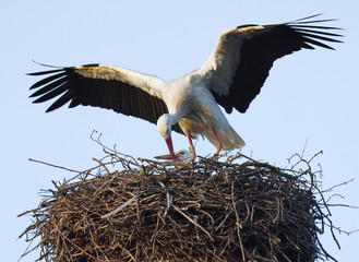 A male stork feeds his mate in their nest on the roof of a house in the town of Wijk Bij Duurstede