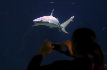 A tourist takes a photograph of a shark swimming behind a glass window at the Sydney Aquarium