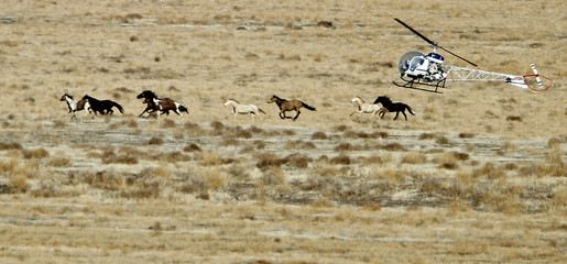 Wild horses run as a helicopter is used to gather them in the West Desert of Utah, outside Tooele