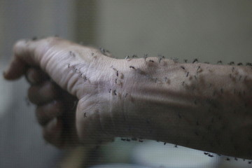 Forearm of a public health technician is seen covered with sterile female Aedes aegypti mosquitoes after leaving a recipient to cultivate larvae, in a research area in Guatemala City