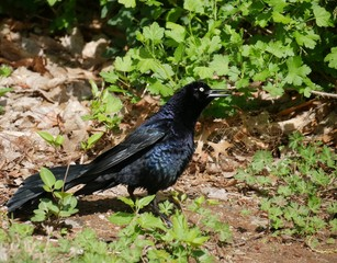 black crow in the bushes Black bird in a background of green leaves in the ground