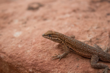 Red Rock Lizard